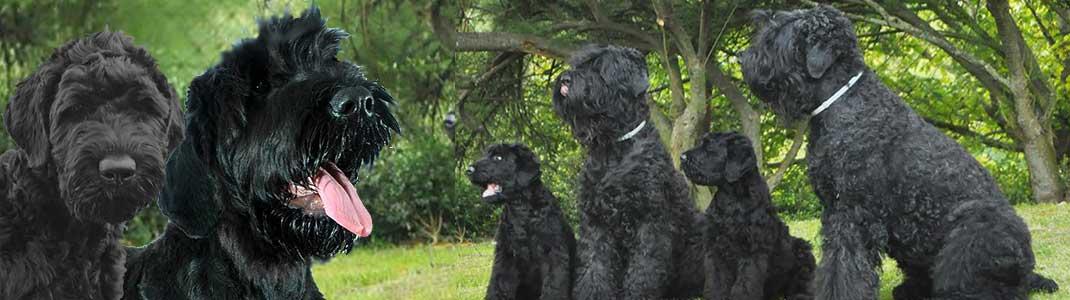 Orosz fekete terrier Baráti Kör