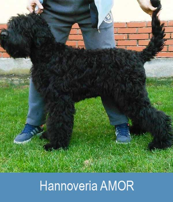 Hannoveria AMOR - ILYA x Roskoshnaya Devitsa s Ozera Razliv