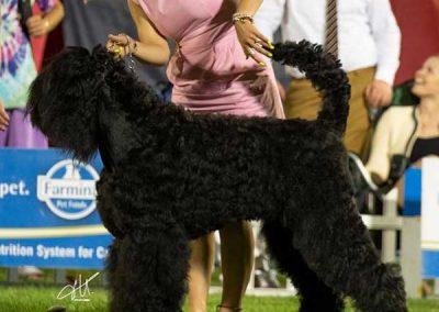 Black russian terrier Split2020